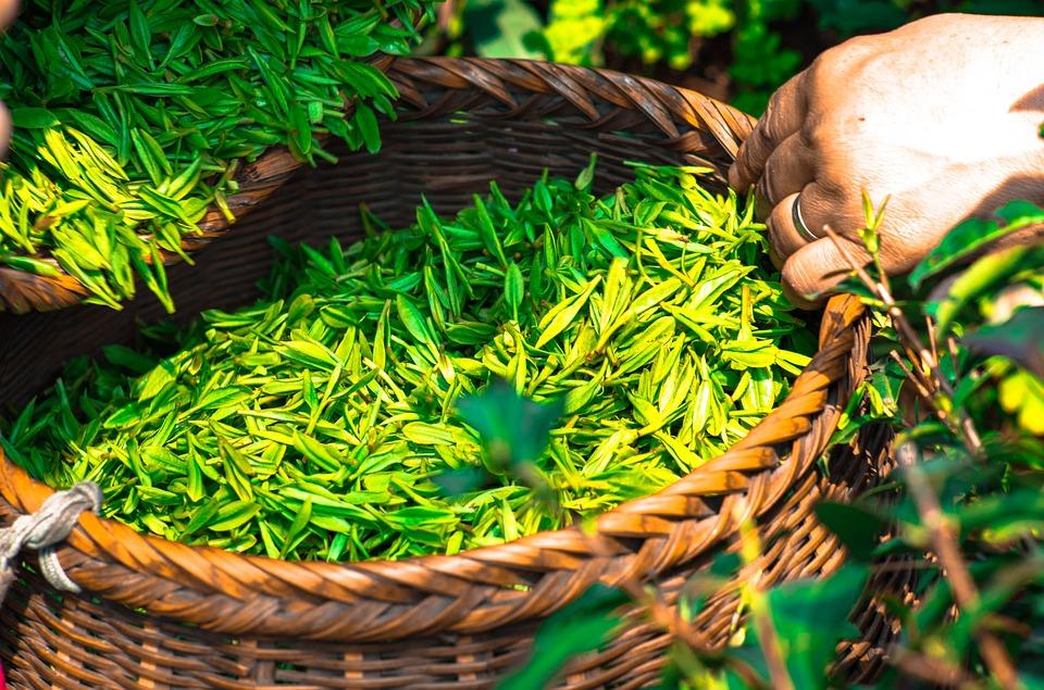 Le thé vert brûle les graisses